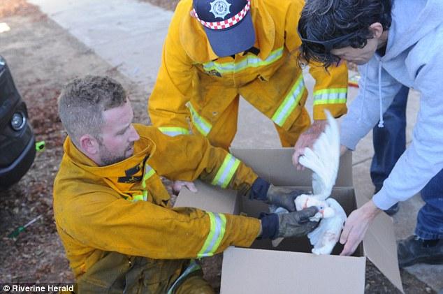 Chú vẹt được đưa đến bác sỹ thú y sau khi thoát ra ngoài.