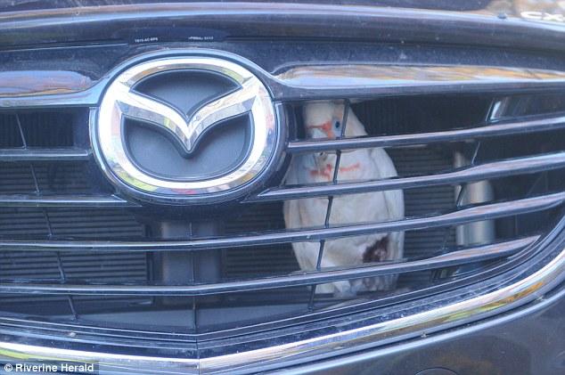 Chú vẹt bị kẹt sau lưới tản nhiệt của Mazda CX-9.