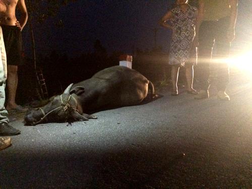 Con trâu bị tông chết tại chỗ sau đó được người dân chuyển vào lề đường để tránh ùn tắc giao thông.