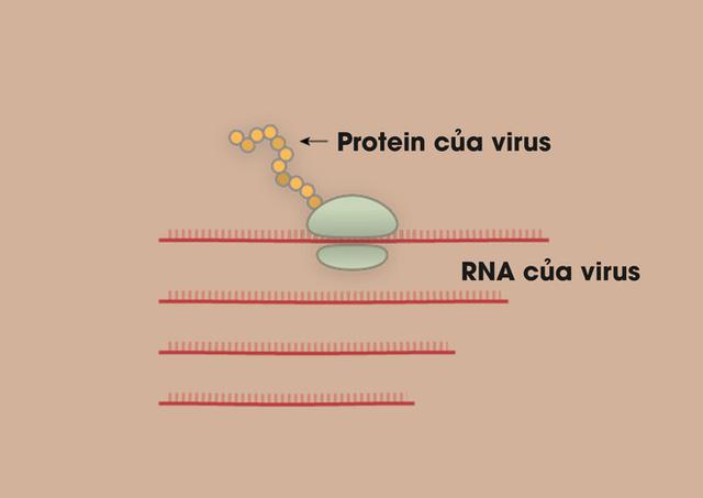 [Infographic] Covid-19 lây nhiễm tế bào phổi như thế nào? Tại sao nó lại nguy hiểm vậy? - Ảnh 5.