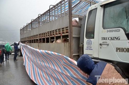 Anh Nguyễn Văn Khiêm (Thái Bình) cho biết,2h30 sáng nay anh lái xe tải chở 75 con lợn từ Thái Bình đi Lai Châu đến khu vực trên thì bị tắc không thể di chuyển được. Nếu ngày mai tình trạng này vẫn còn tiếp diễn thì đàn lợn sẽ chết.