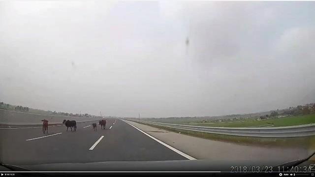 Từ vụ lùi xe trên cao tốc Thái Nguyên: Bò lạc và những nỗi sợ lớn nhất của tài xế khi di chuyển trên cao tốc - Ảnh 1.