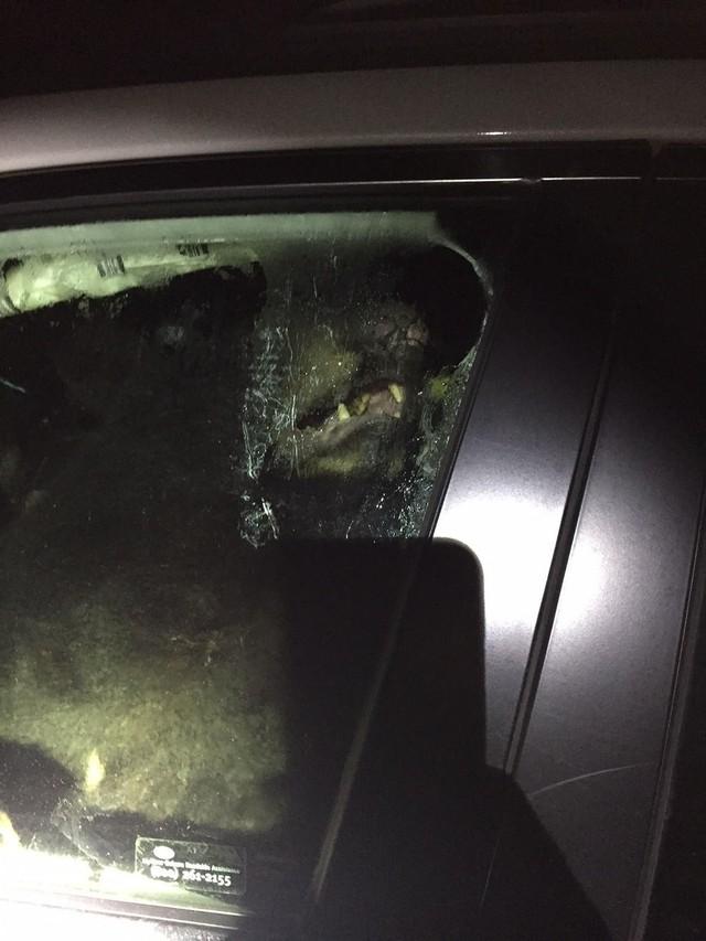 Quên khóa cửa xe, chủ xe méo mặt vì bị gấu lẻn vào phá tan nội thất - Ảnh 2.