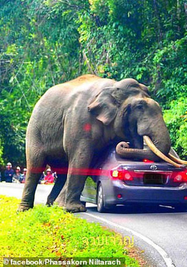 Tài xế hú hồn thoát chết sau khi chứng kiến cảnh con voi cố... làm chuyện ấy với chiếc Toyota Corolla của mình - Ảnh 4.