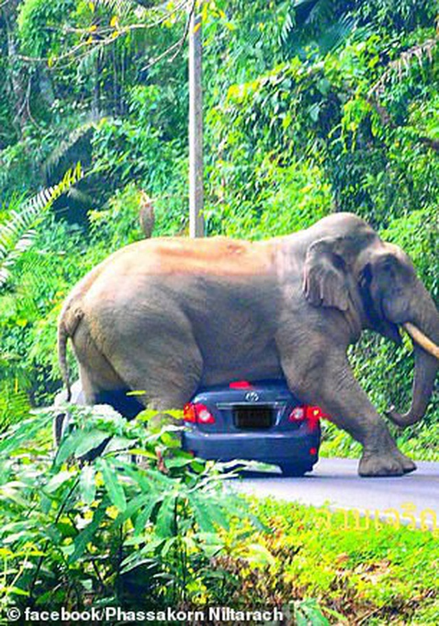 Tài xế hú hồn thoát chết sau khi chứng kiến cảnh con voi cố... làm chuyện ấy với chiếc Toyota Corolla của mình - Ảnh 5.