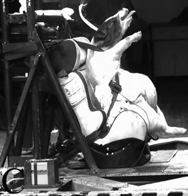 Trung Quốc gây tranh cãi khi sử dụng lợn để thử nghiệm va chạm ô tô - Ảnh 2.
