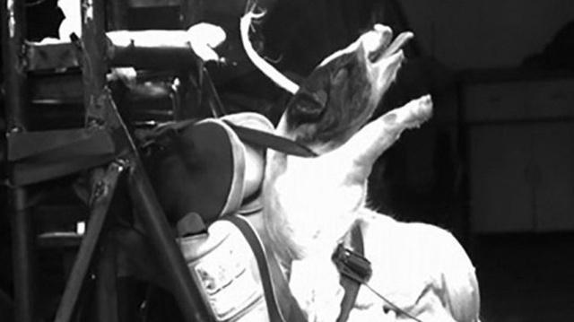 Trung Quốc gây tranh cãi khi sử dụng lợn để thử nghiệm va chạm ô tô