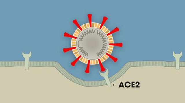 [Infographic] Covid-19 lây nhiễm tế bào phổi như thế nào? Tại sao nó lại nguy hiểm vậy?