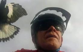 Chú chim liên tục làm phiền tay lái môtô