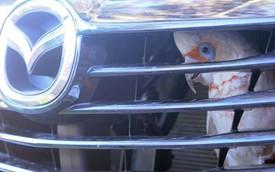 Hy hữu: Vẹt chui vào sau lưới tản nhiệt của Mazda CX-9