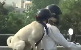Hài hước chú chó đội mũ bảo hiểm đi xe máy
