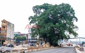 Cây đa hơn 100 tuổi nằm giữa đường xuống cầu vượt Bưởi - Võ Chí Công