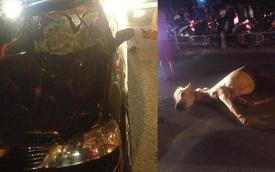 Đồng Nai: Xe Ford hất ngựa chạy qua đường lên nắp capô