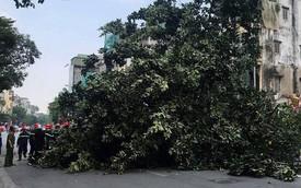 Hà Nội: Cây đa cổ thụ cao gần 10m đổ chắn ngang đường Tôn Đức Thắng