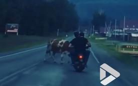 Say bí tỉ, 2 thanh niên lao xe vào bò thả rông mà không hay biết