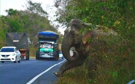 """Góc ''ăn chặn"""" có ý thức: Chú voi to vật vã ra hiệu trước cho tài xế đi chậm để xin chút sắn, ăn no nê thì lững thững đi bộ về rừng, tuyệt đối không chiếm lòng đường"""