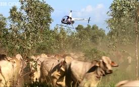 Phải dùng trực thăng mới chăn được bò