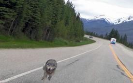 Người lái môtô bất ngờ bị... sói đuổi theo